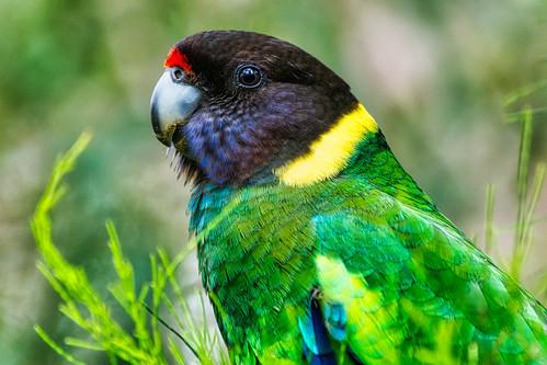 Australian Ring Neck Parrot