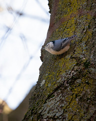 "Nuthatch Sitting in My Tree and ""Laughing"" at Me"