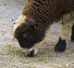 Memphis Zoo 08-29-2019 - Harlequin Sheep 8