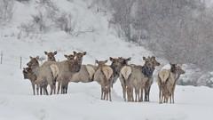 Elk in Snow Storm