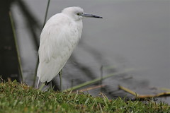 Little Blue Heron (Egretta caerulea)(Immature)