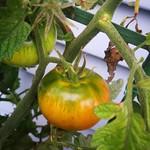 Island Bay tomato