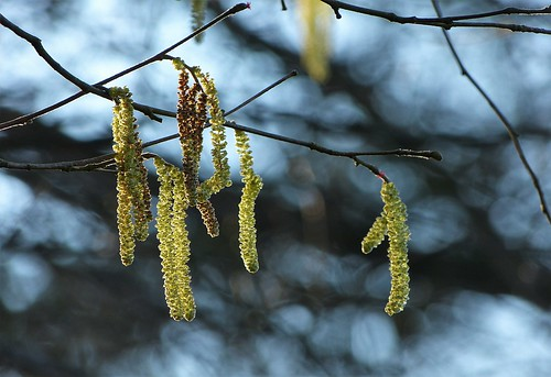 Male catkins of hazel