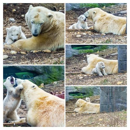 Polar bear baby at Schönbrunn Zoo c