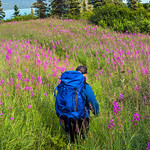 Fields of Fireweed [Explore]