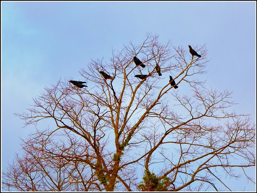 Interesting Information about Crows,