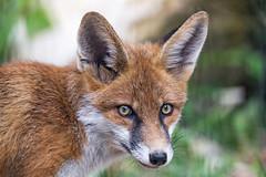 A nice portrait of a fox