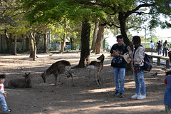 Tourists and free ranging Sika deer on an open ground near Nara station