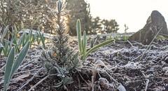 A tiny frosty rosemary