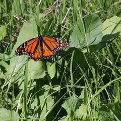 Monarch m 0303sqa