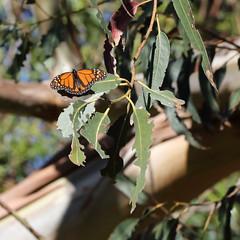 Monarch f? 0270sqa