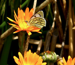 Butterfly on the Island