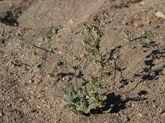nodding buckwheat, Eriogonum cernuum