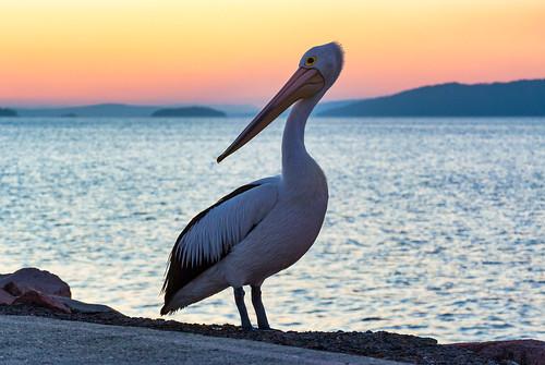 Aussie Pelican