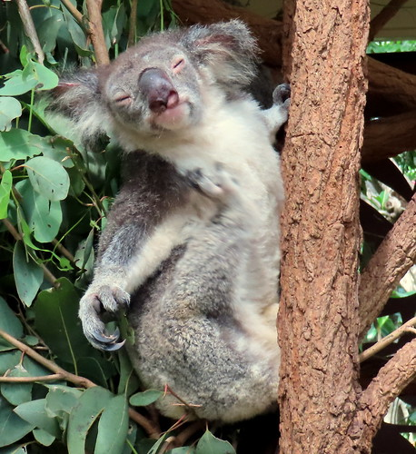Cute little koala