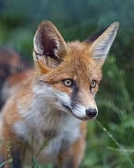 Cute fox in the vegetation