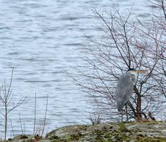 Gråhäger, Ardea cenerea, Grey Heron