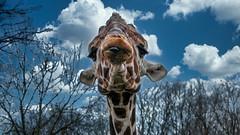 Giraffe auf Tuchfühlung ..