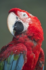 Portrait of a green-winged Macaw