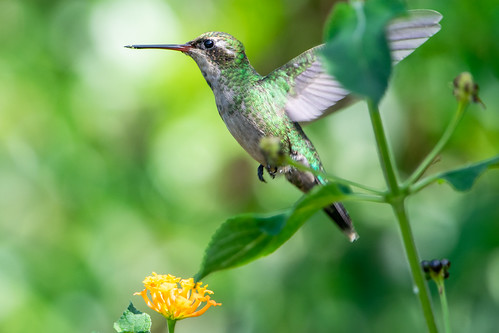 Picaflor común - Glittering-bellied emerald