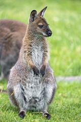 Young kangaroo sitting on the grass