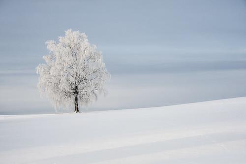 Talvinen koivu, IKs Kuukausi kilpailu