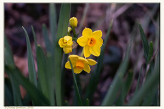 The first jonquils of spring