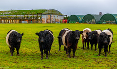 Young Belted Galloway Cows..