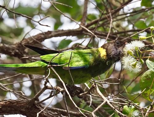 Parrots - Ringneck (28)