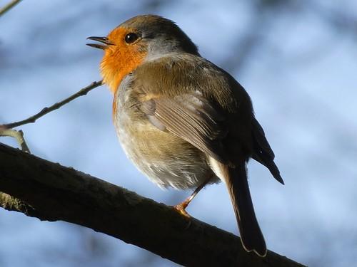 Rouge-gorge unijambiste - One-legged robin