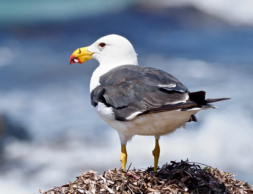 Seabirds - Gulls - Pacific (georgii WA)