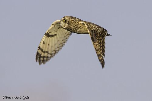 Coruja do Nabal (Asio flammeus)   Short-eared Owl   Sumpfohreule   Hibou des marais   Gufo di palude    Búho Campestre