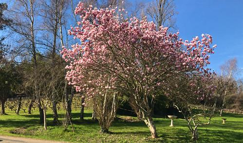Magnolia et vignes en arrière plan. Hiver printanier !