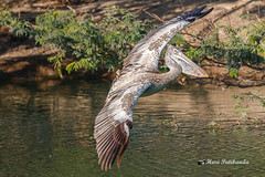 A Spot Billed Pelican in Full Wings Spread