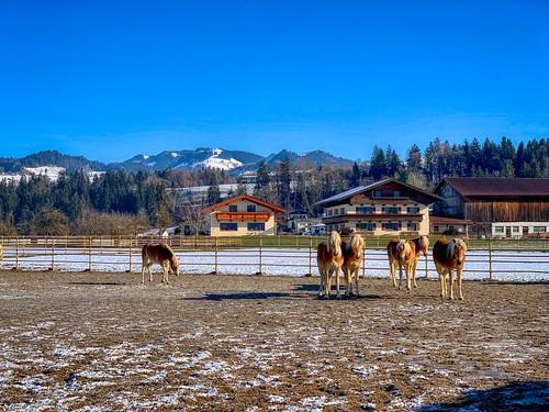 Haflinger horses in Ebbs, Tyrol, Austria