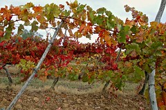 Tuscan grapevines in autumn-6297