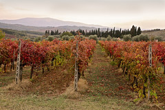 Red Tuscan Vineyard
