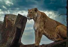 die Löwin ...