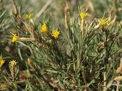 alpine rabbitbrush, Ericameria parryi var. monocephala