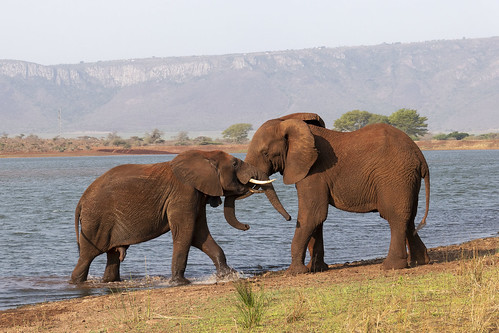 Elephants - Zimanga - South-Africa
