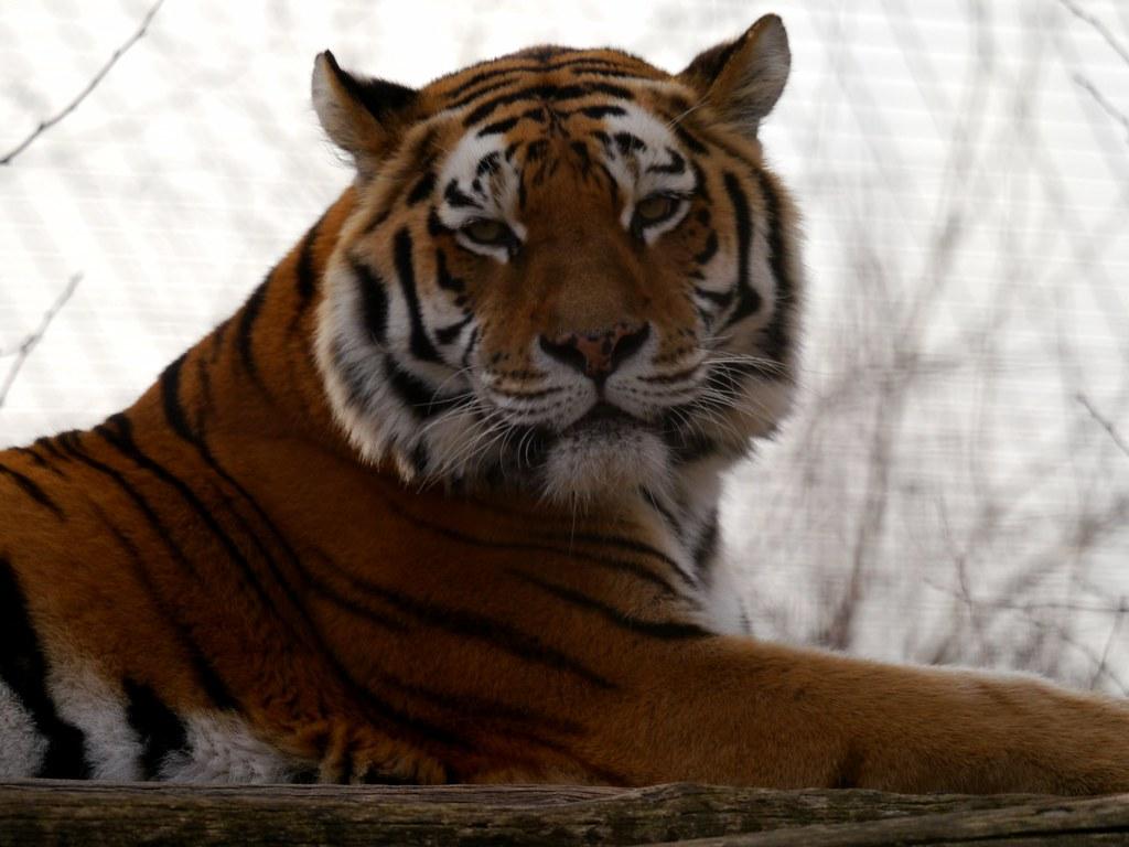 Ein Tiger in Schönbrunn / A tiger at Schoenbrunn