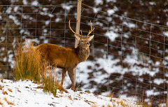 This Stag Passed within 50Feet of my Truck more intent of getting over the Deer Fence than seeing Me @ The Pass of Drumochter.