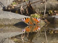 Schmetterlinge und Raupen  - Butterflies