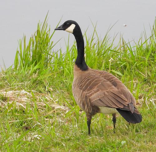 Canada Goose (Branta canadensis)-1452