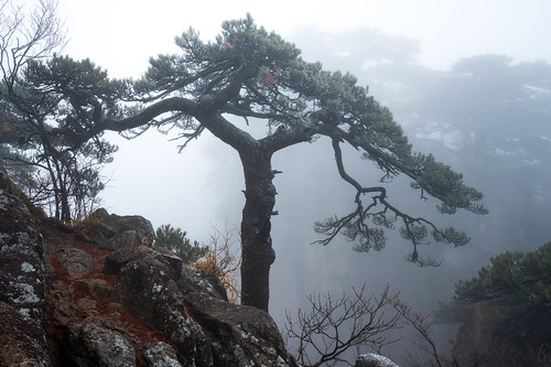A Lone Pine - Mount Huangshan