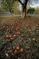 Fallen red apples on a garden path