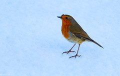 Been 2 of these Robin Red Breasts Squabling all morning and so Hard to Catch with the Snow, Now is it me or does this Wee Guy have a Quiff ..... @ The Pass of Drumochter.
