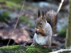 Squirrel in deep forest