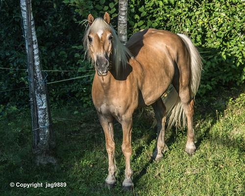 Horse, Flawil, Canton of St. Gallen, Switzerland