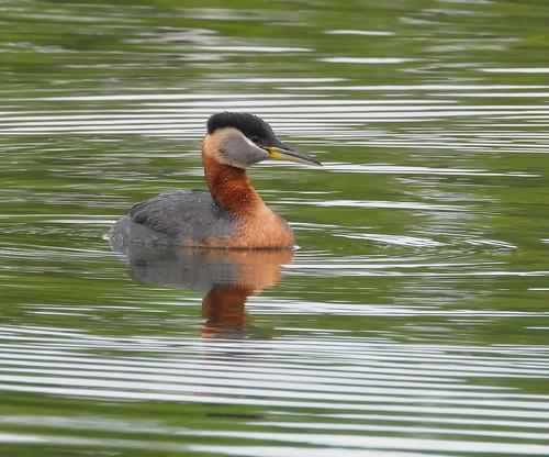 Red-necked Grebe (Podiceps grisegena)-1430